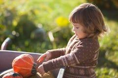 Toddler girl harvesting orange pumpkins at the wheelbarrow. Cute little girl working at family farm, countryside. Little gardener in the garden, autumn harvest Royalty Free Stock Photos