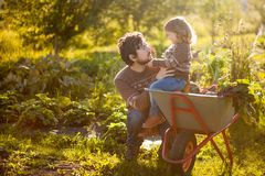 Toddler girl and her father harvesting orange pumpkins at the garden. Family working at the farm, countryside. Toddler gardener in the garden, autumn harvest stock photos