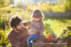 Toddler girl and her father harvesting orange pumpkins at the garden. Family working at the farm, countryside. Toddler gardener in the garden, autumn harvest royalty free stock photography