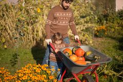 Toddler girl and her father harvesting orange pumpkins at the garden. Family working at the farm, countryside. Toddler gardener in the garden, autumn harvest Royalty Free Stock Photo