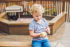 Toddler girl playing with the ducklings in the petting zoo Royalty Free Stock Photo
