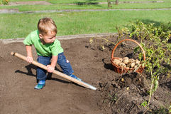 Toddler harvesting potatoes Royalty Free Stock Photos