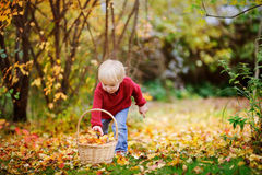 Toddler having fun in autumn park/forest. Little boy playing outdoors. Child collecting yellow leaves Stock Photos
