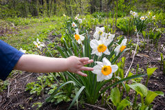 Toddler Touching a Daffodil Royalty Free Stock Images