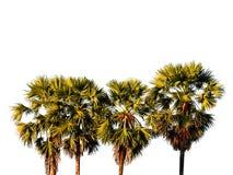 Toddy geïsoleerde palm royalty-vrije stock afbeeldingen
