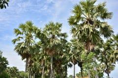 Toddy palm Royalty-vrije Stock Afbeeldingen