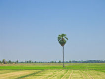 Toddy palm in the agricultural fields. General view could found in rural country site of Thailand. Photograph under bright clear sky in sunny day royalty free stock photos