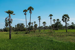 Toddy palm field Royalty Free Stock Photography