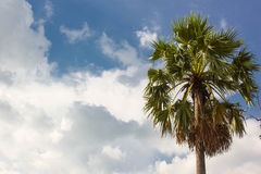 Toddy palm tree Royalty Free Stock Image