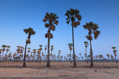 Toddy or Sugar Palm in field. Stock Photo
