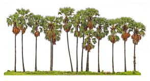 Toddypalme oder Arengapalmebaum Stockfotos