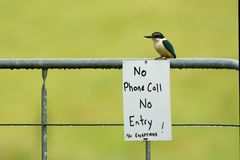 Todiramphus sanctus - Sacred kingfisher - kotare small kingfisher from New Zealand, Thailand, Asia. Sitting on the sign No Phone C royalty free stock photos