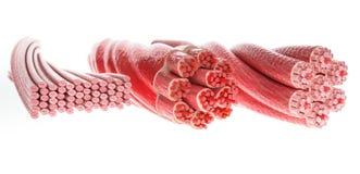 Todo el músculo mecanografía adentro una imagen, esquelético, Cardial y los músculos lisos - representación 3D imagen de archivo