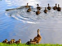 Todo el pequeño Duckies en fila Imagen de archivo libre de regalías