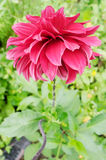 Todorka. Blossomed red spring flower Todorka Royalty Free Stock Photo