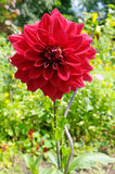 Todorka. Blossomed red spring flower Todorka Stock Photo