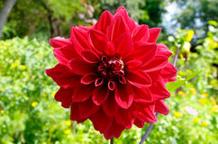 Todorka. Blossomed red spring flower Todorka Stock Photography