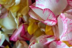 Todos aumentaram as p?talas, hastes, flores cor-de-rosa em um fundo branco fotografia de stock royalty free