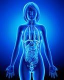 Todos los órganos del cuerpo femenino en radiografía azul colocan Foto de archivo libre de regalías