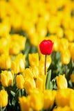 Todos los tulipanes amarillos un rojo Imagenes de archivo