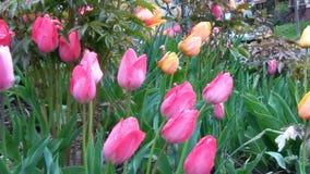 Todos os tipos das tulipas Foto de Stock Royalty Free