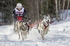 Todtmoos гонки скелетона собаки Стоковое Изображение
