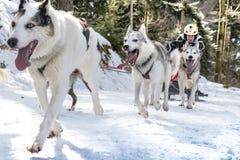 Todtmoos гонки скелетона собаки Стоковые Фото