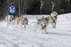 Todtmoos гонки скелетона собаки Стоковая Фотография RF