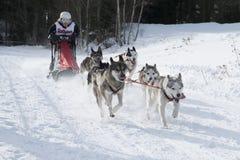Todtmoos гонки скелетона собаки Стоковое Изображение RF
