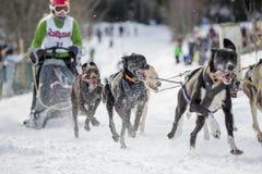 Todtmoos гонки скелетона собаки Стоковые Изображения RF