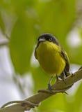 Tody Flycatcher comune Fotografia Stock Libera da Diritti