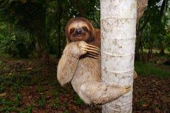 3-toed лень взбираясь на стволе дерева в Панаме Стоковое Фото