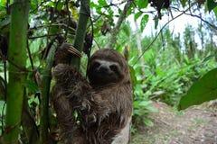 3-Toed лень в джунглях Амазонки, Перу Стоковое фото RF