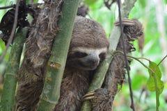 3-Toed лень в джунглях Амазонки, Перу Стоковое Изображение RF