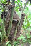 3-Toed лень в джунглях Амазонки, Перу Стоковая Фотография RF