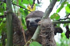3-Toed лень в джунглях Амазонки, Перу Стоковые Изображения RF