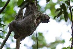 3 toed лень в Коста-Рика Стоковое Фото