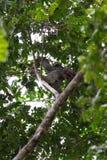3 toed лень в Коста-Рика Стоковые Изображения RF