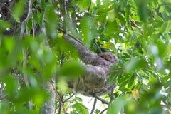 3 toed лень в Коста-Рика Стоковые Фото