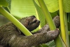 3-toed лень, Коста-Рика Стоковое Изображение RF