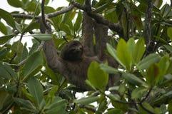 3-toed лень, Панама Стоковое Изображение RF
