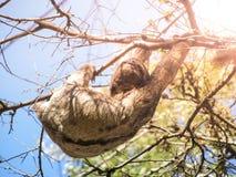 3-toed лень, variegatus Bradypus, вися от ветви, Santa Cruz, Боливия, Южная Америка Стоковое Изображение RF