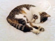 6-toed кот спать на покрывале стоковое фото rf