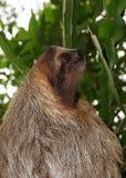 3-toed профиль головы лени в джунглях Стоковое Изображение RF