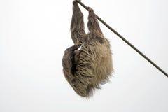 2 Toed смертная казнь через повешение лени и спать на линии электропередач Стоковые Фото
