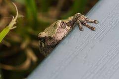 4 Toed лягушка Стоковое Изображение