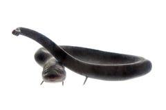 2-toed amphiuma, середины amphiuma, на белизне Стоковое Изображение RF