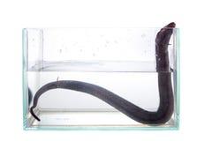 2-toed amphiuma, середины amphiuma, на белизне Стоковое Изображение
