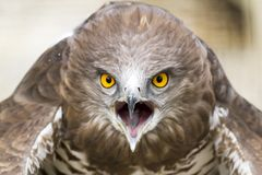 Toed Eagle Royalty Free Stock Images