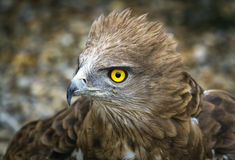 Toed Eagle. Circaetus gallicus Royalty Free Stock Image